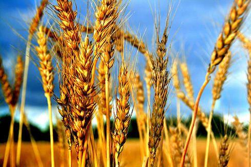 campo-de-trigo_