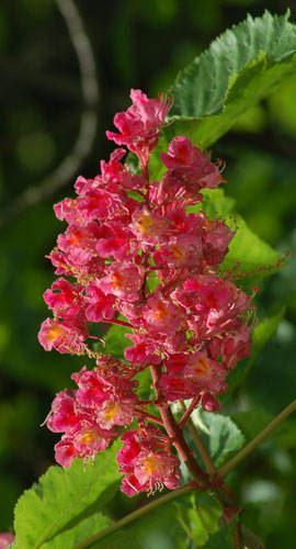 red_chestnut_bloom_big